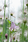 Columbine and pasque flower in a meadow, Kaiserstuhl, Baden-Wuerttemberg, Germany, Europe