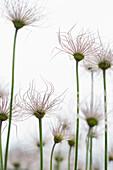 Pasque flower in a meadow