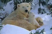 Polar bear mother and cub outside den in the snow, Ursus maritimus, Canada
