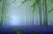 Bluebells in flower in woodland, Hyacinthoides non-scripta, Ashridge, Hertfordshire, England, Great Britain