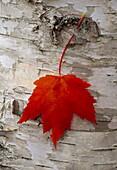 Fallen red maple leaf hanging on white birch bark, Michigan, USA, America