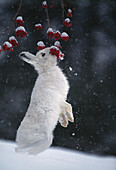 Mountain hare in the snow eating berries, England, Great Britain, Europe