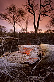 Glowing trunk after bush fire during drought, Kruger National Park, South Africa, Africa