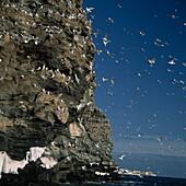 Dreizehenmöwenkolonie an einem Kliff, Ekkeroy Naturschutzgebiet, Finnmark, Norwegen, Europa