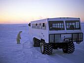 Männlicher Eisbär steht morgens neben einem Fahrzeug mit Touristen, Wapusk Nationalpark, Churchill Manitoba, Kanada, Amerika