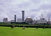 Grasende Kühe vor dem Sellafield Kernkraftwerk, Cumbria, England, Grossbritannien, Europa
