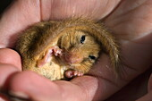 Hazel Dormouse in the hand of a licensed dealer, Cornwall, England, Great Britain, Europe