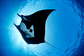 Low angle view of Manta ray, San Benedicto, Revillagigedo Socorro Islands, Mexico, East Pacific Ocean