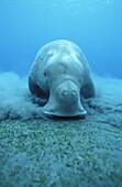 Dugong dugong feeds on seagrass meadows, Vanuatu, South Seas, Oceania