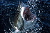 Great White Shark comes to the surface with open jaws, Carcharodon carcharias, South Australia, Southern Ocean