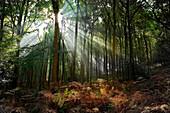 Oak Woodland with sunburst, Quercus rubra, Forest of Dean, Gloucestershire, England