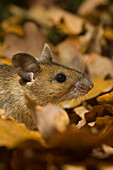 Wood mouse hiding under autumn leaves, Apodemus sylvaticus, Forest of Dean, England