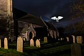 Barn Owl, Tyto alba, flying over the graves in Churchyard,  Saint James Parish Church, Southrepps, Norfolk, East of England, England
