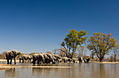 African Elephant herd drinking at waterhole in the dry northern parts of Botswana, Loxodonta africana, Botswana, Africa