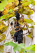 Red grapes on a vine against the wall of house, Vine, Bavaria, Germany