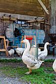 Free-range geese, goose, poultry, Rural scene, Bavaria, Germany