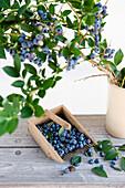Ripe bilberries, blueberries, ready for picking, harvesting comb, harvest, Fruit, Bavaria, Germany