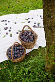 Two baskets full of plums, harvest, Garden, Bavaria, Germany