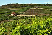 Hügellandschaft mit Weinfeldern, Sachsen-Anhalt, Deutschland, Europa