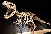 Complete Skeleton in upright position of Tarbosaurus bataar - 72 million years, Late Cretaceous -  found in Gobi desert in Mongolia  Cosmocaixa museum, Barcelona, Spain