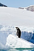 A lone adult emperor penguin Aptenodytes forsteri on sea ice in the Gullet between Adelaide Island a