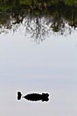 The endemic Galapagos marine iguana Amblyrhynchus cristatus in the Galapagos Island Archipelago, Ecuador. The endemic Galapagos marine iguana Amblyrhynchus cristatus in the Galapagos Island Archipelago, Ecuador  MORE INFO This is the only marine iguana in