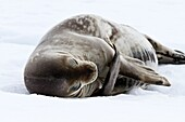 Adult Weddell seal Leptonychotes weddellii hauled out on ice near the Antarctic Peninsula, Southern Ocean. Adult Weddell seal Leptonychotes weddellii hauled out on ice near the Antarctic Peninsula, Southern Ocean  MORE INFO This is the most southerly bree