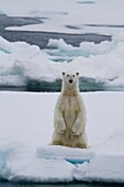Adult male polar bear Ursus maritimus standing on hind legs on multi-year ice floes in Franz Josef Land, Russia, Arctic Ocean