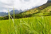 Field with Tef te ef, teff - local grain used to make a flatbread called injera near the escarpment of the Simien Mountains close to the Simien Mts  National Park near the village of Mekarebya at an elevation of about 2300m during the end of the rainy sea