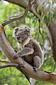 The Koala Phascolarctos cinereus is an iconic symbol for the wildlife of Australia. Australia, Victoria