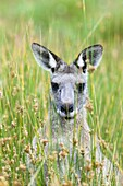 Eastern grey kangaroo Macropus giganteus, it is the second largest living marsupial and one of the icons of Australia The Eastern grey kangaroo is mainly nocturnal and crepuscular, it is a grazer of mainly australian grassses and herbs Australia, Victoria
