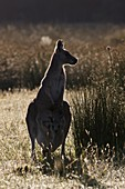 Eastern grey kangaroo Macropus giganteus, mother with joey small, young not weaned kid kangaroo, it is the second largest living marsupial and one of the icons of Australia The Eastern grey kangaroo is mainly nocturnal and crepuscular, it is a grazer of m