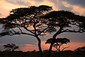 Acacia Tortilis tree in the Serengeti National Park, Tanzania