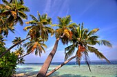 Palm trees on the seashore, Biyadhoo island, Maldives