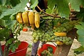 Italy, Piedmont, Montferrat, grape harvest.