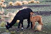 Bolivia, Tomarapi, Alpacas.