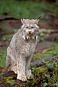 CANADA LYNX Lynx canadensis, native to wilderness areas of northern North America