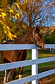 Curious horse along a fenceline in Woodstock, Vermont, USA