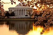 Dawn at the Tidal Basin with blossoming cherry trees and the Jefferson Memorial, Washington DC USA