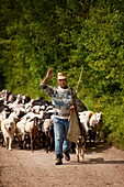 Santino, an Umbrian shepherd leads his flock down from the pastures in the hills near Campi Vecchio, Umbria Italy