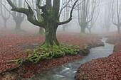 Forest of Otzarreta, Gorbea natural park, Araba, Spain