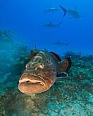 large black grouper, Mycteroperca bonaci, and Caribbean Reef Sharks, Carcharhinus perezi, black grouper can grow up to 1 5 m weighing 100 kg, Grand Bahama, Bahamas, Caribbean Sea, Atlantic Ocean