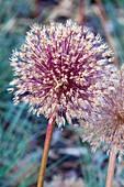 Fading Allium hollandicum ,England