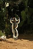 Verreaux´s Sifaka, propithecus verreauxi, Adult hopping across open ground, Berenty Reserve, Madagascar