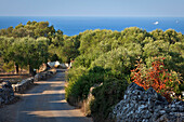 Olive Orchard By The Sea, Region Of Castrignano Del Capo, The Southernmost Town Of Puglia Situated At The Southern Tip Of The Heel Of Italy'S Boot, Puglia, Italy