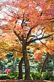 Japan,Kyoto,Kennin-ji Zen Temple,Autumn Leaves in the Temple Grounds