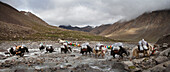 A Yak train on the Kora or pilgrim's path around Mount Kailash. Animals carrying loads across a flowing stream.
