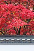Acer trees, acer palmatum. Autumn Color at Eikando Temple.