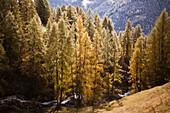 Yellow larch trees in autumn, Engadin, Graubuenden, Grisons, Switzerland, Europe