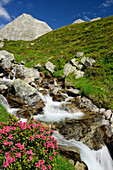 Alpine rose in front of a mountain stream, Alpe di Rotondo, Gotthard range, Ticino, Switzerland